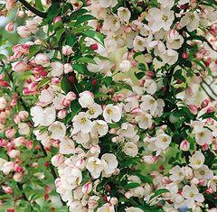 Crabapple Malus Adirondack White 5'