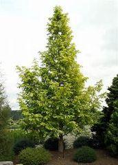 Redwood Dawn Metasequoia glyptostroboides 6'