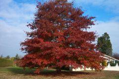 "Oak, Northern Red Tree Quercus rubra 1"""