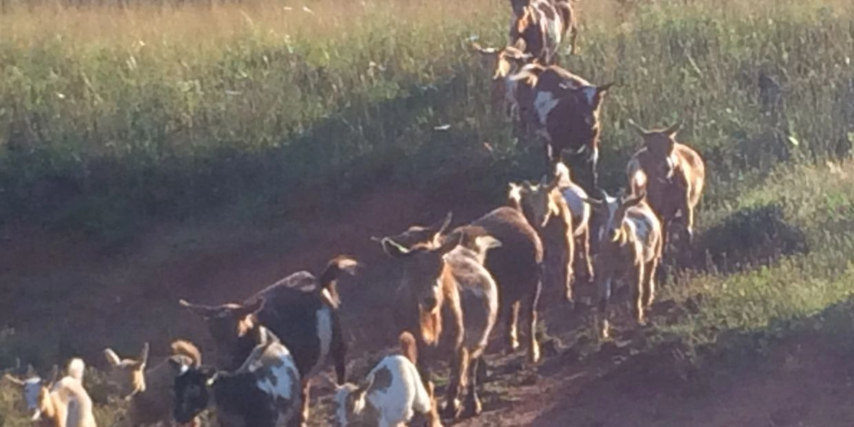 Our Tribe of goats. Goat herd. Goat Tribe.