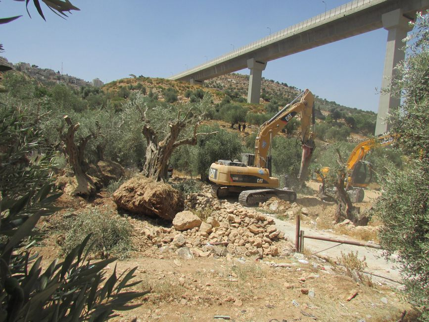Bulldozers uprooting olive trees on Palestinian land below a segregated Israeli-only bypass road.