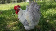 Lavender Orpington- Adult Rooster