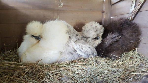 Silkie Juvenile Pullet- Pet Quality