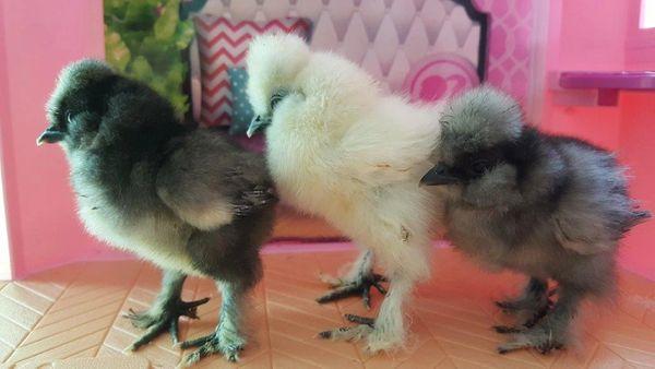 Silkie Chicks Assortment. Qty. 6