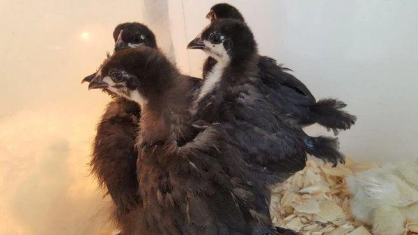 Black Orpington Chicks- Straight Run