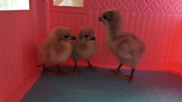 Lavender Orpington Chicks- Straight Run