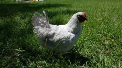 Lavender Orpington Hen- Pet Quality