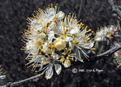 Wild Plum Blossoms