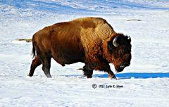 Bison On A MIssion