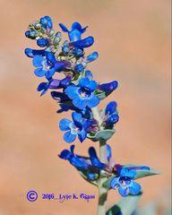Blue Penstemon #1