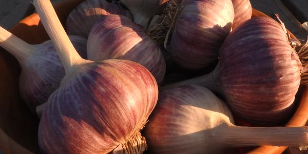 Red Russian garlic.