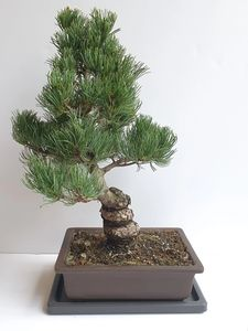 Bonsai Tree Pine