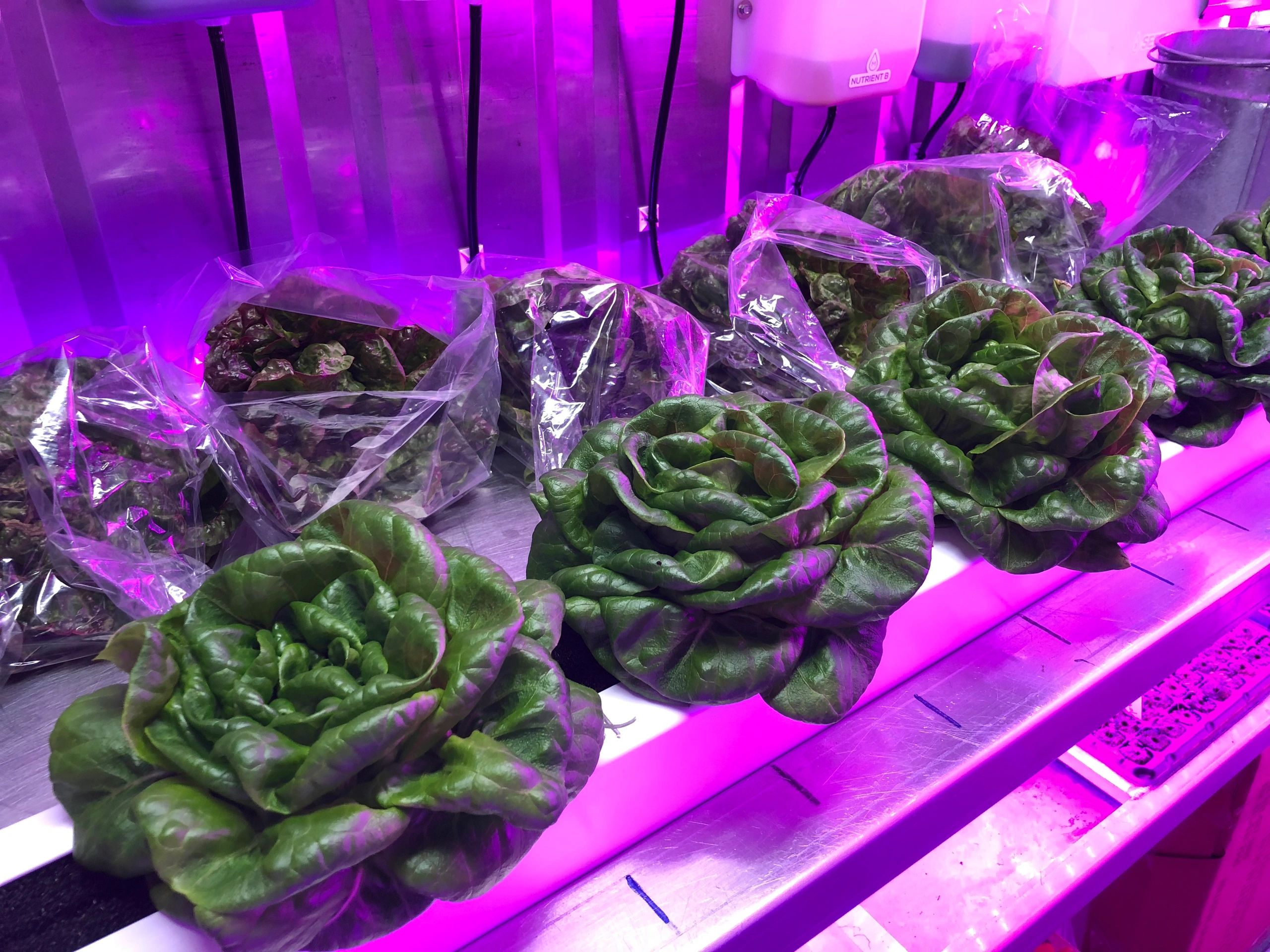 "Green ""Rex"" Butterhead Lettuce at Harvest!"
