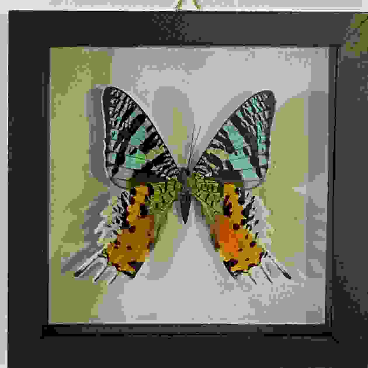 Rainbow moth butterfly in frame