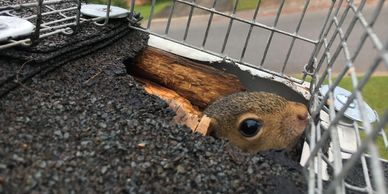 Squirrel coming out of entry hole
