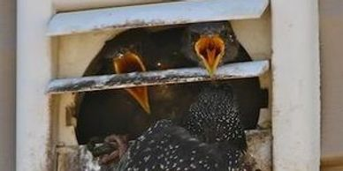 birds in dryer vent