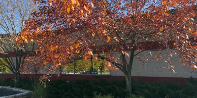 Tree in autumn with red leaves.