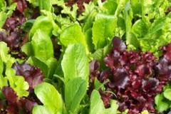 Spring Mix Lettuce (1 container)