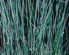 Blue Rush (Juncus glauca)