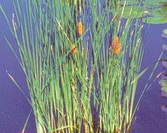 Dwarf Cattail Typha minima