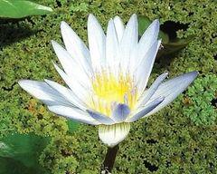 Dauben (blue) Tropical Day Lily