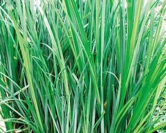 Sedge (Carex aquatilis)