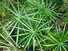 Dwarf Umbrella Palm (Cyperus alternifolius 'gracilis')