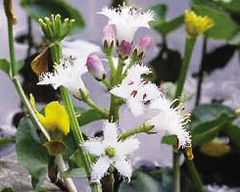 Bog Bean (Menyanthes trifolia)