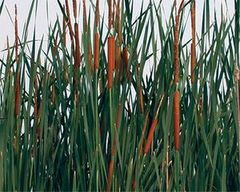 Graceful Cattail (Typha laxmanni)