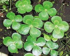 Four-Leaf Water Clover Marsilea quadrifolia