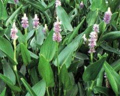 Pickeral Rush, Purple Pontederia cordata