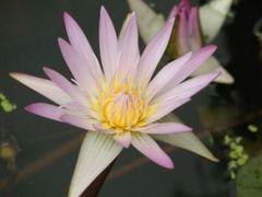 Madame Ganna Walska Tropical Day Blooming Lily