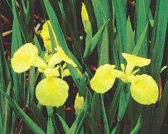 Iris, Yellow Flag Iris pseudacorus