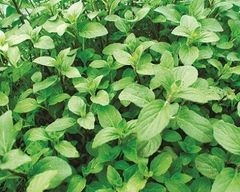 Aquatic Mint Mentha Aquatica