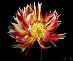 Miles Cramer, Red and Yellow Dhalia #2