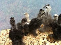 Silkie chicks