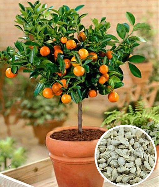 Bonsai Orange Tree Seeds Garden Sweet Oranges Seeds Supply 50pcs ...