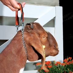 Leather and Chain Goat Show Collar
