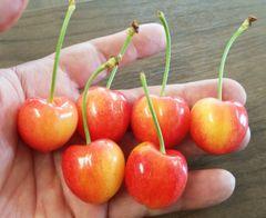 Pro_USA Rainier Cherry 9lbs box 美国顶级甜脆黄樱桃9磅礼品箱一箱