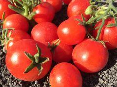 Organic Field Tomatoes有机西红柿