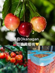 Pro_BC Local Okanagan Rainier Cherries 3lb bag 【爆炸甜】本地Okanagan特甜黄樱桃3磅袋