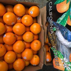 Pro_Blue Jay Oranges 11 pcs 蓝鸟橙11颗