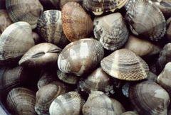 Seafood_Live Manila clam 2.5 lbs bag 鲜活花蛤利2.5磅袋