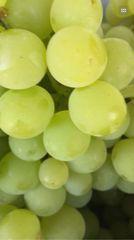 Pro_Super Sweet Lemon Milk Grape 本地牛奶柠檬味葡萄4磅袋