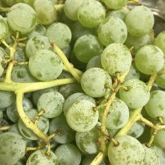 Local Organic Pearl Grapes 2.2 lbs box 本地认证有机珍珠小葡萄2.2磅盒
