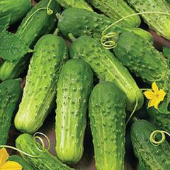 【Instock! Special】Local unsprayed pickling cucumbers 20 lbs/box