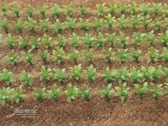 Sugar Beet Plants 1:32 Scale Crop Vehicle Load by Juweela 23386