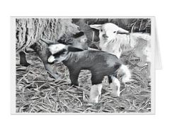#F48| Around The Farm Greeting Cards | Baby Lambs Twin Girls
