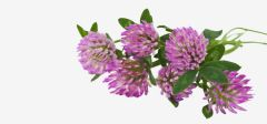Red Clover - Herbal (Tisane)