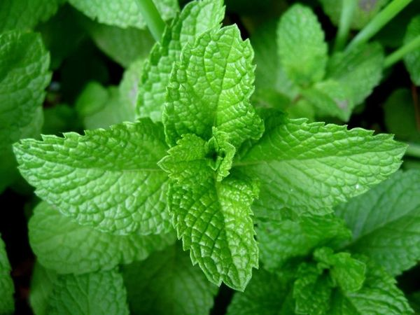 peppermint essential oil 30 ml natures excellence inc